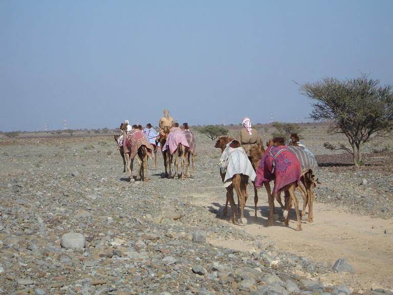 Camels.desert
