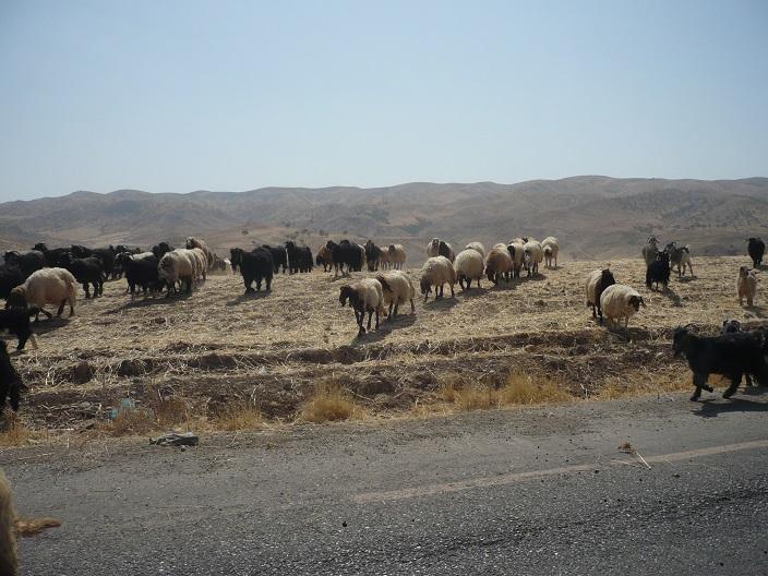 Goats.Oman