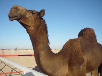 Camel.Contest 009